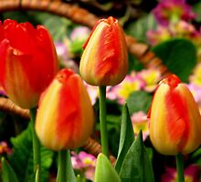 colorful tulips by Sandyou