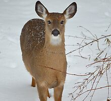 Odocoileus Virginianus - North American White - Tailed Deer | Middle Island, New York by © Sophie W. Smith