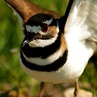 Killdeer by Wieberg Photography