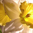 Narcissus by Rachael Evans