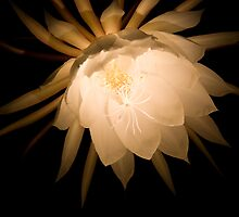 Moon Cereus Lit by Paul Lindenberg