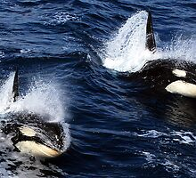 Killer Whales #1 by lanebrain photography