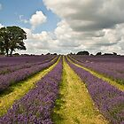Lavender Rows by Avril Jones