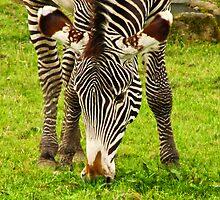 Zebra HDR by Dfilmuk Photos
