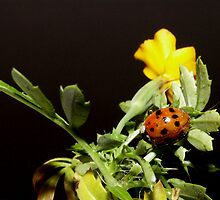 Ladybugs Life by Tanya Bowers