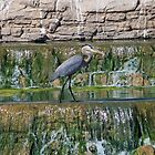 Arizona Heron by cindylu