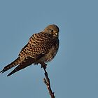 Common Kestrel (Falco tinnunculus Linnaeus) by Peter Wiggerman