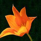 Orange Lily by Linda More