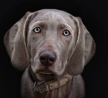 The Weimaraner's Sister by Jo-PinX