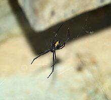 Western Black Widow Spider by Bryan Peterson