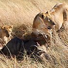 Lioness and Cubs at a Wilderbeest Kill, Maasai Mara, Kenya  by Carole-Anne