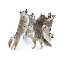 Coyote Sing-along Photographic Print