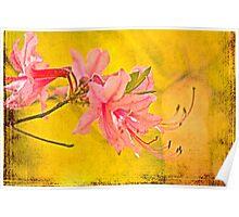 Wild Azalea Blossoms - Rhododendron canescens Poster