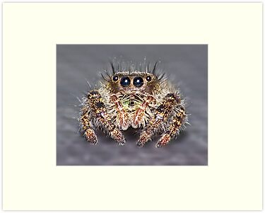 """ Don King"" Jumping Spider by robkal"