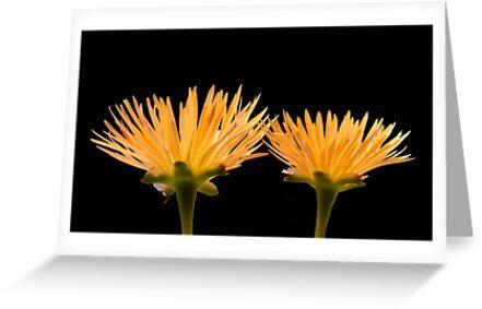 Golden Ice Plant by Daniel J. McCauley IV