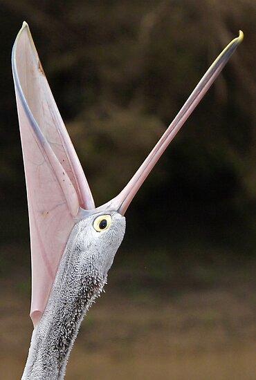 Australian Pelican ~ What a Mouth  by Robert Elliott