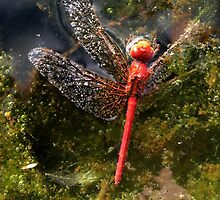 Death of a Dragonfly by Lachlan Kent