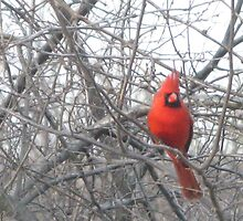 """The """"Don King"""" of cardinals by lilv123"""