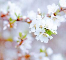 Spring Blossoms Soft by luckypixel