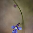 Native Lobelia by Ian English
