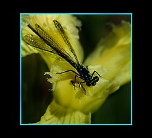 Little Miss Damselfly by Merilyn