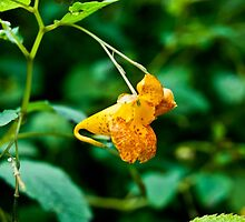 Orange Snapper!  by EmleRosencrance