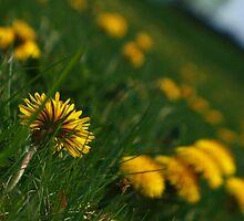 Field of Daisies by Rachel Beck