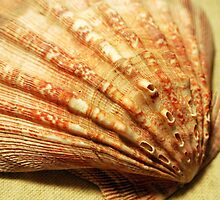 Ribbed Scallop by buddykfa