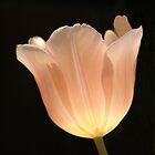 Peach Tulip by Kathleen Struckle