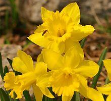 Daffodils by Mary Kaderabek-Aleckson