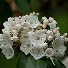 Mountain Laurel by Henri Irizarri
