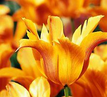 "Leliebloemige Tulipa ""Ballerina"" by Alison Cornford-Matheson"
