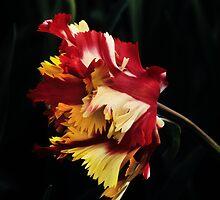 """Parkiet Tulipa (Parrot Tulip) """"Flaming Parrot""""  by Alison Cornford-Matheson"""