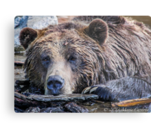 Grizzly Pose Metal Print