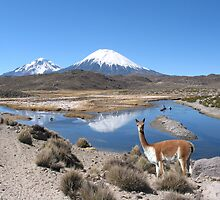 VICUNA - LAUCA NATIONAL PARK by Michael Sheridan