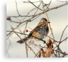 Song Sparrow and Red Berry Canvas Print