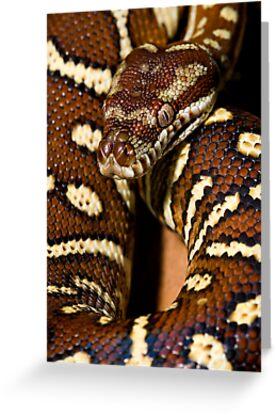 Centralian Carpet Python by Frank Yuwono
