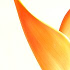 Orange Heliconia on white background by NKSharp