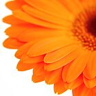 Orange Gerbra flower by NKSharp