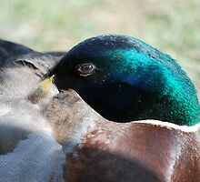 duck again by dougie1