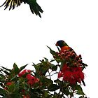 Rainbow lorikeets by Ngakeone