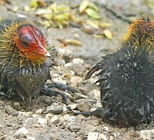 Coot Chicks by AARDVARK