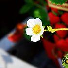 strawberry flower by dydydada