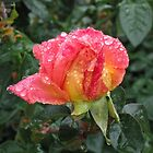 Wet and Wild Rose by Thomas Murphy