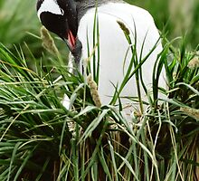 Gentoo In The Grass by Steve Bulford