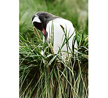 Gentoo In The Grass Photographic Print