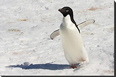 "Adelie Penguin  ~  ""The Dancer"" by Robert Elliott"