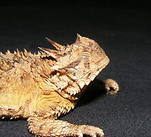 Texas horned lizard AKA horney toad by photofun75