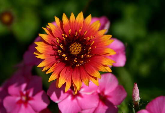 Indian Blanket by MMerritt