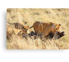 Lioness with Cubs, Moving a Wildebeest Kill, Maasai Mara, Kenya  Canvas Print